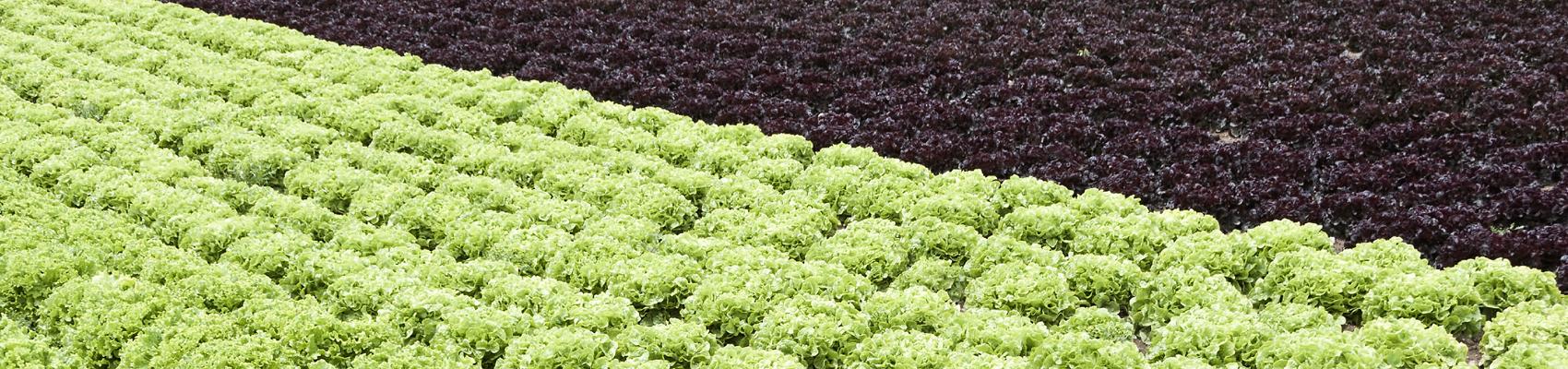 Lettuceback